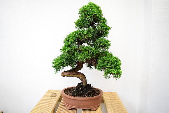 Genévrier (Juniperus Chinensis)