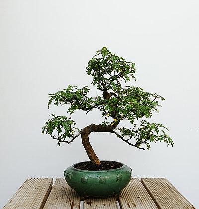 Poivrier du Japon (Zanthoxylum Piperitum)