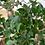 Thumbnail: Ficus retusa