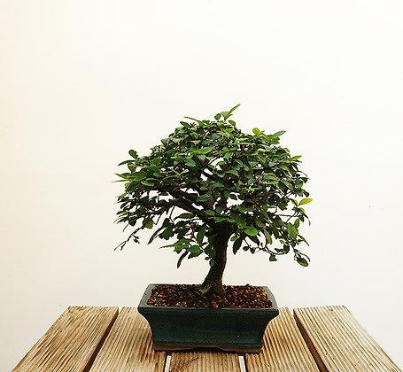 Orme de Chine (Ulmus parvifolia)