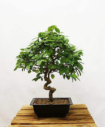 Charme de Corée (Carpinus Koreana)
