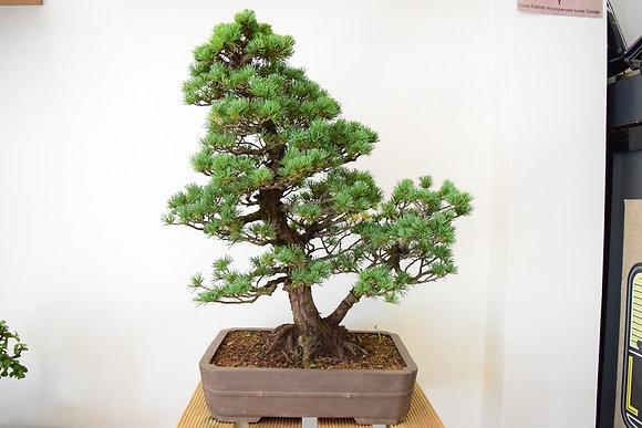 Pin Blanc du Japon Kokonoe (Pinus Pentaphylla)