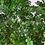 Thumbnail: Poivrier du Japon (Zanthoxylum Piperitum)