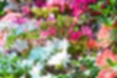 Le petit Arbre, erable palmatum, acer palmatum