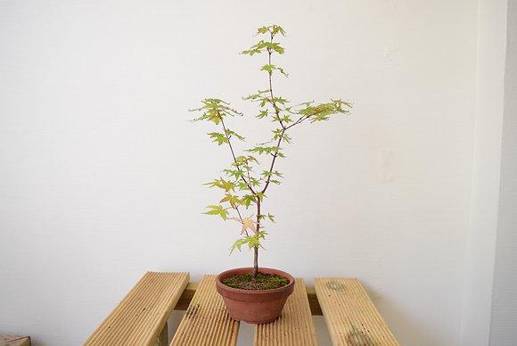 Erable du japon (Acer palmatum)