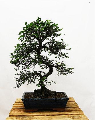 Orme de Chine (Ulmus Chinensis)