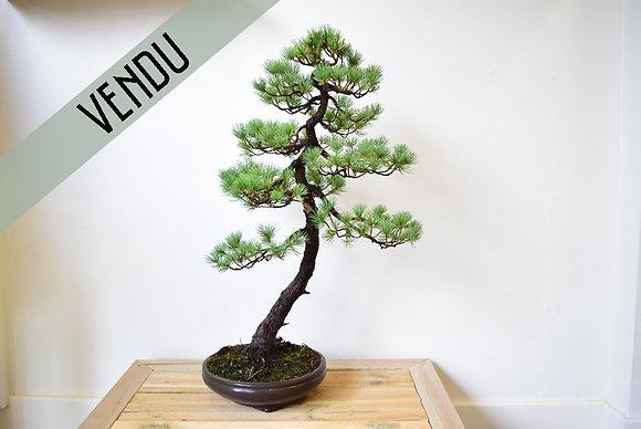 VENDU - Pin Blanc du Japon (Pinus Pentaphylla)