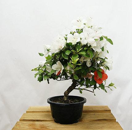 Azalée Satsuki (Rhododendron Indicum)
