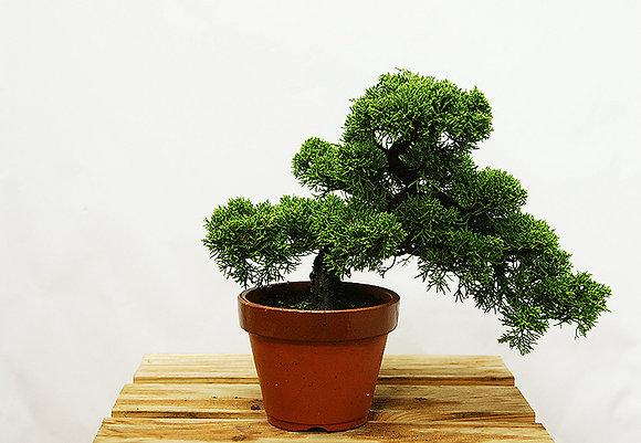 Genévrier de Chine (Juniperus Chinensis Itoigawa)