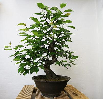 Abricotier du Japon (Prunus Mume)