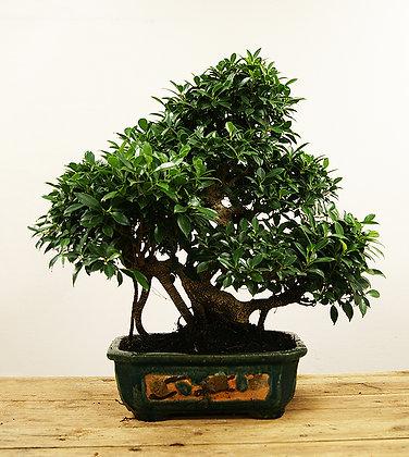 Ficus Retusa (Figuier/Banyan)