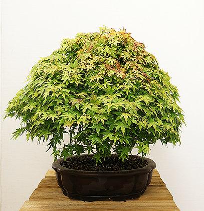 Erable du Japon (Acer Palmatum Kiyohime)