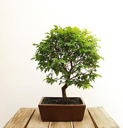 Prunier de Java (Eugenia Cauliflora)