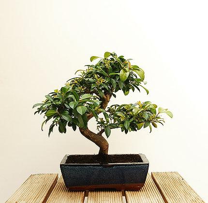 Eugenia Myrtifolia (Cerisier d'Australie)