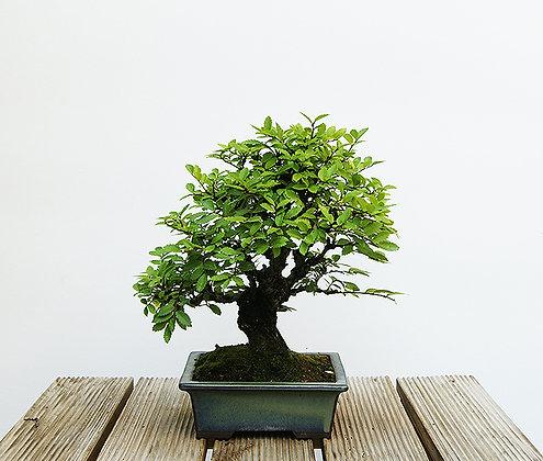 Orme de Chine (Ulmus Parvifolia Seiju)