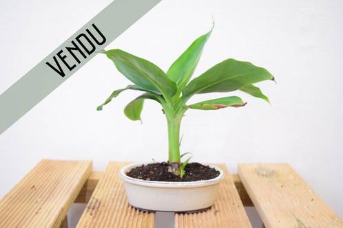 bananier nain le petit arbre magasin sp cialiste bonsai saint maur des foss s. Black Bedroom Furniture Sets. Home Design Ideas