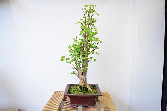Ginkgo Biloba (L'arbre aux 40 écus)