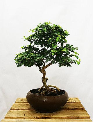 Mûrier chinois (Cudrania Tricuspidata)