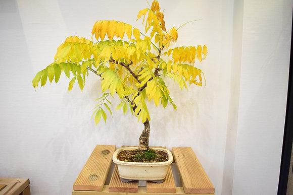 Glycine du Japon (Wisteria floribunda)