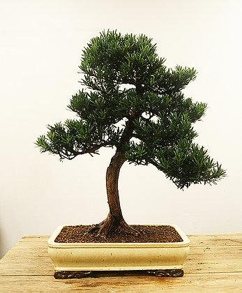 Pin des Bouddhistes (Podocarpus)