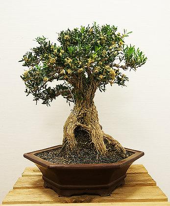 Buis de Chine (Buxus Harlandii)
