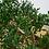 Thumbnail: Buis de Chine (Buxus Harlandii)