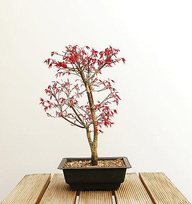 Erable du Japon (Acer Palmatum Deshojo)