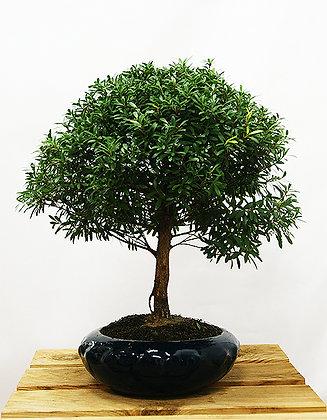 Myrthe (Syzygium)
