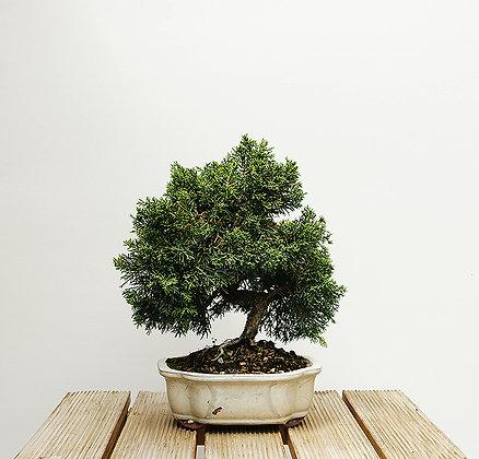 Genévrier de Chine (Juniperus Chinensis)