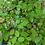 Thumbnail: Orme de Chine (Ulmus Parvifolia Seiju)