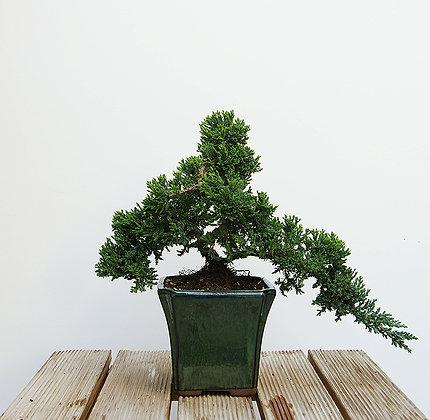 Genévrier (Juniperus Procumbens)