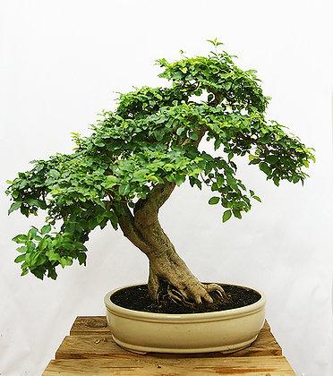 Troène de Chine (Ligustrum Chinensis)