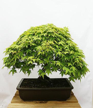 Erable du Japon (Acer Palmatum Kashima)