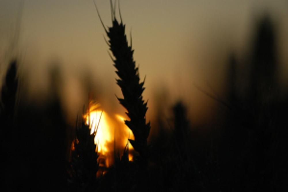 Cereal fields in Sunset/Maria Nybäck 2008