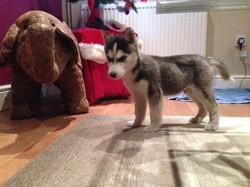 Max Puppy (Copy)