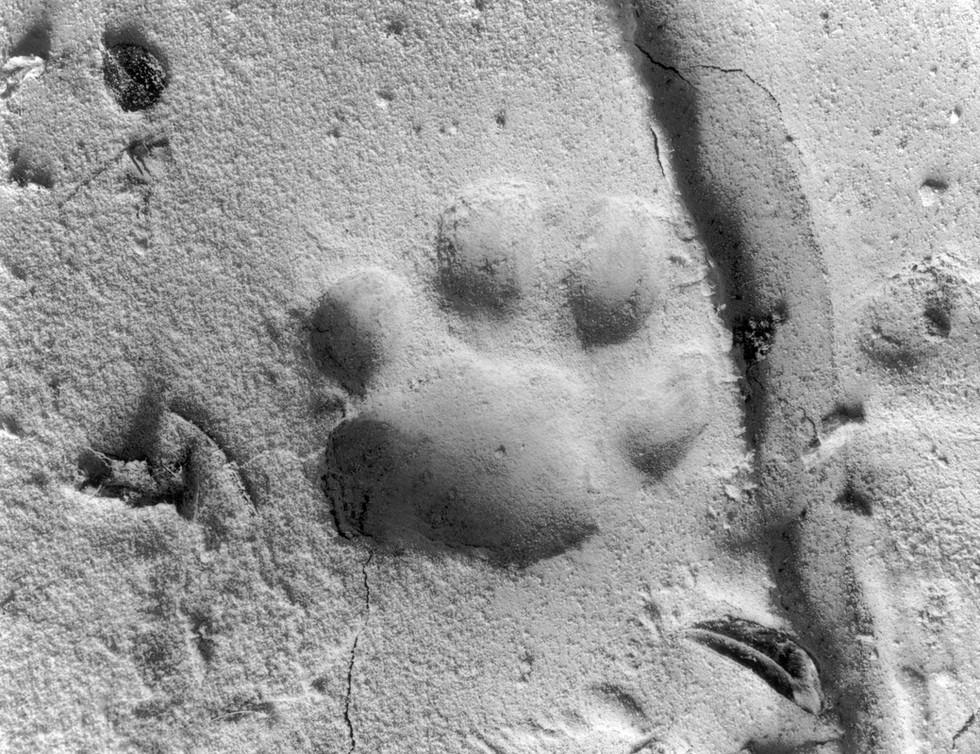 Mountain Lion Track