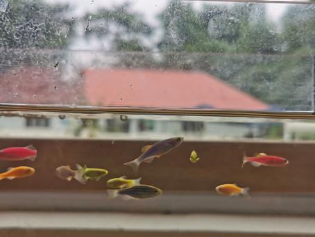 ALBA FISH: Transgenic art in a preschool