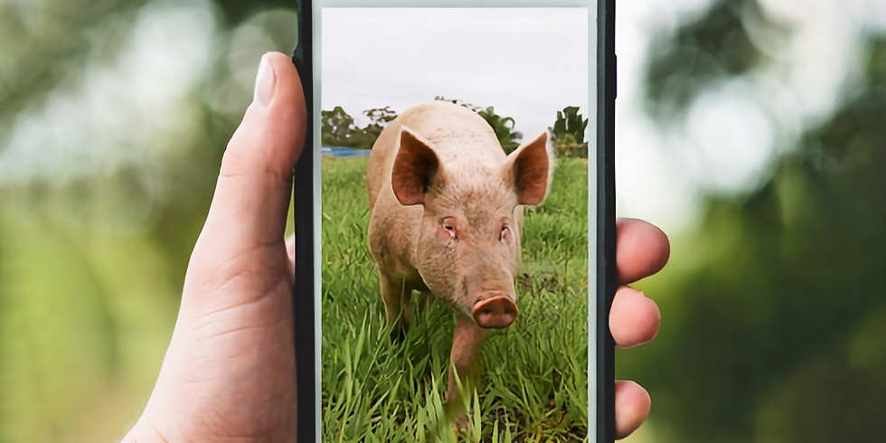 Virtual Tour - Meet our Pigs with Kate