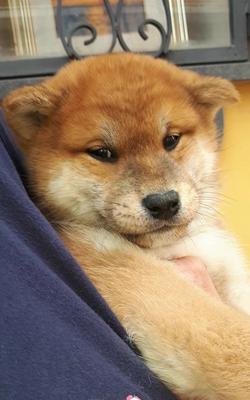 Cucciolo di Shiba Inu 45 giorni