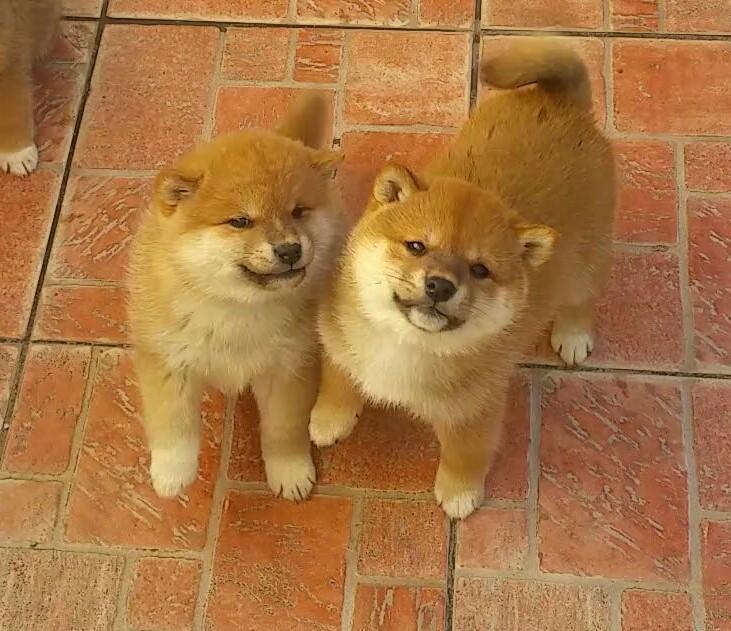 Cucciole di Shiba Inu