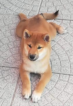 Cucciolo di Shiba Inu 90 giorni