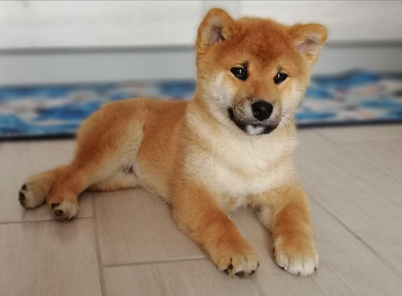 Cucciolo di Shiba Inu 75 giorni