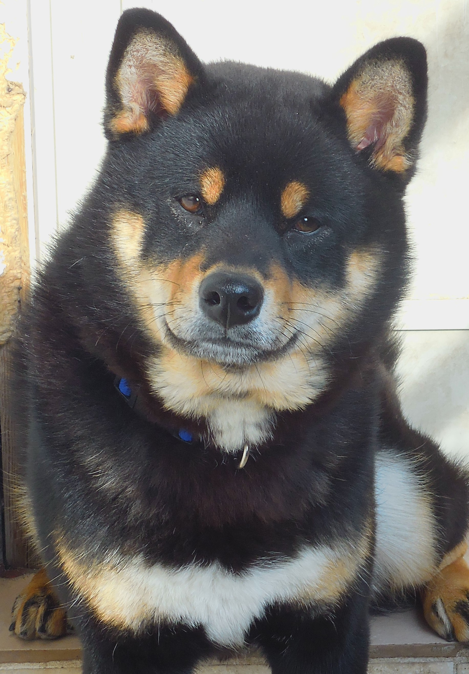 SHIBA INU BLACK AND TAN