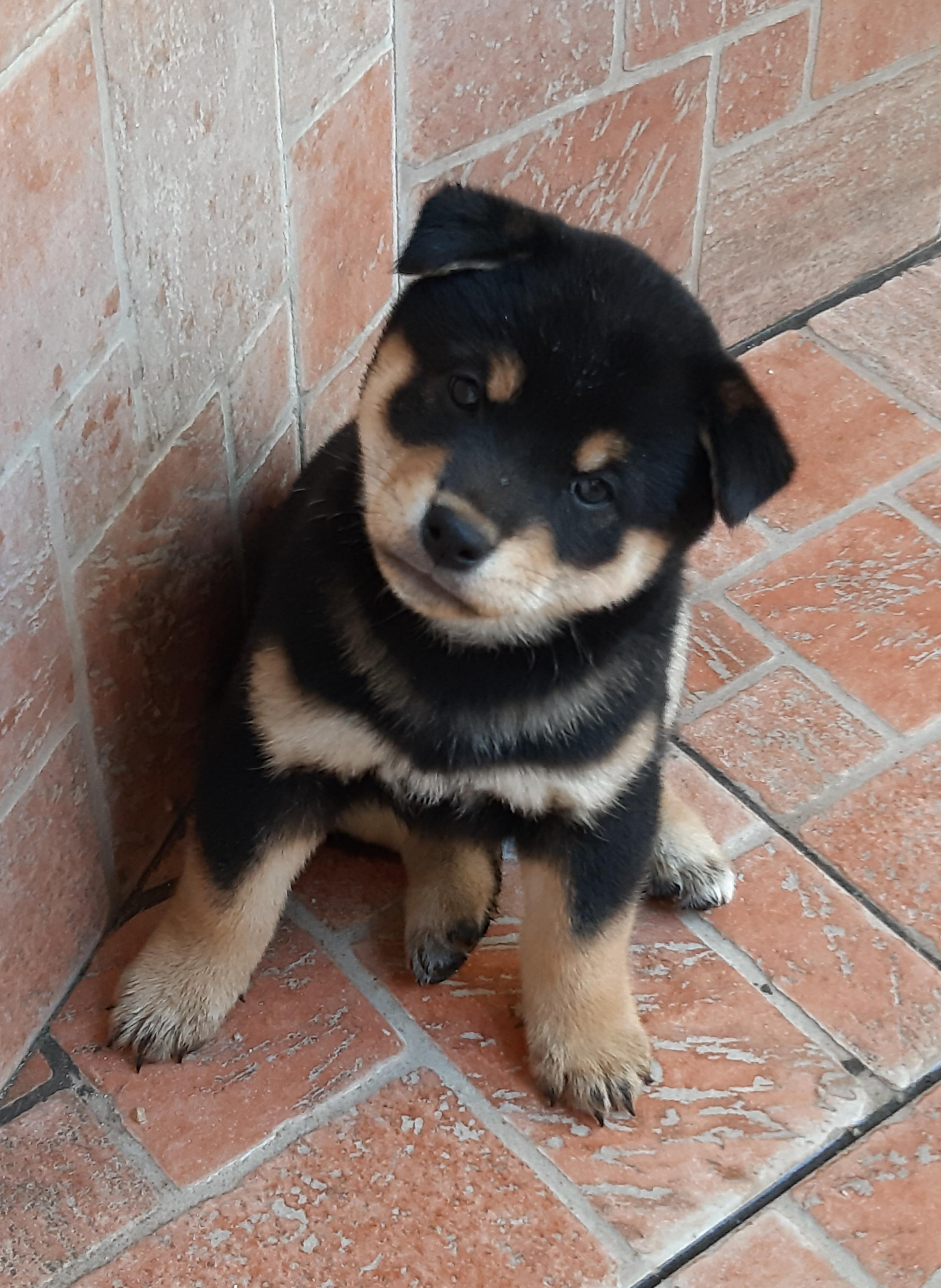 cucciolo di shiba inu black and tan
