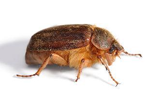Christmas beetle jan 2007