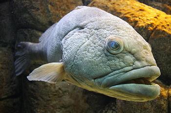 Grouper fish in Cretaquarium