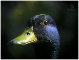 A Ducks Face