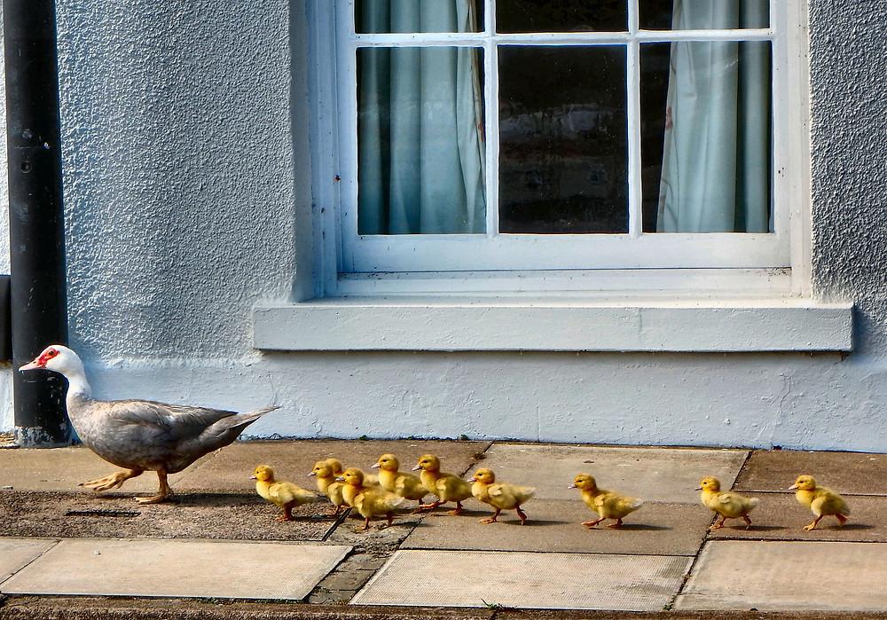 ducks-2683034_1920