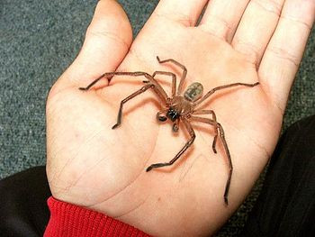 Male Delena cancerides, Huntsman Spider or Avo...