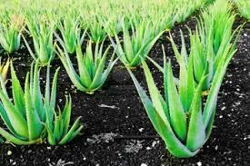 Herbologia: Babosa